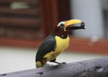 toucan-3