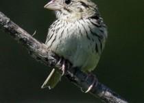 9E6A7636-Henslows-Sparrow