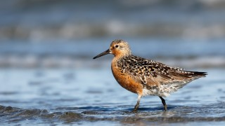 at-risk shorebirds