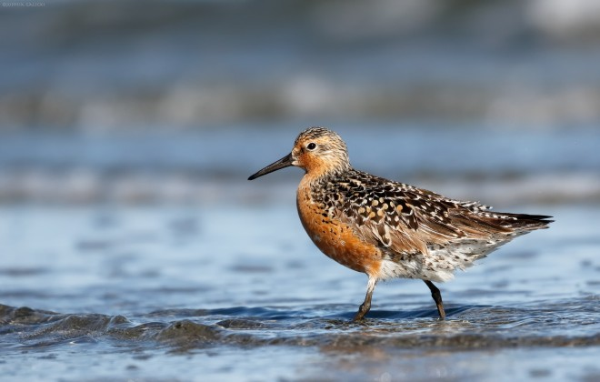 A Red Knot walks on the shore near Nome, Alaska. Photo by Joshua Galicki