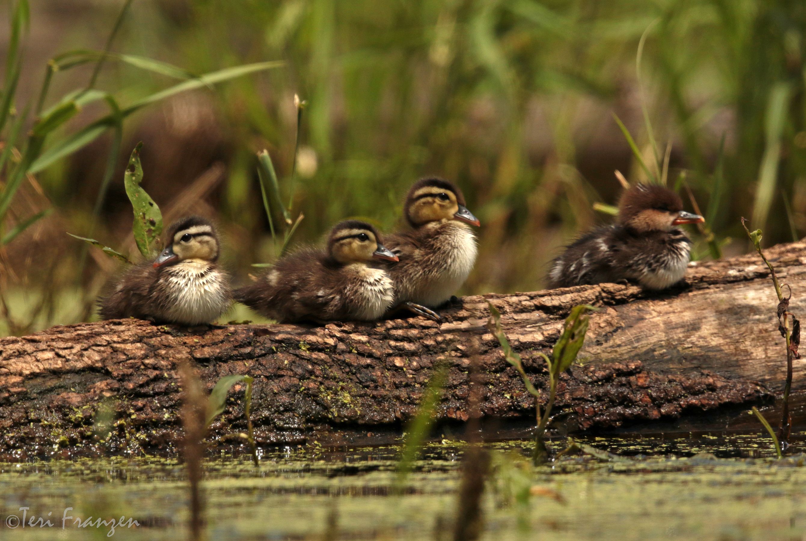 Concealed by a blind, photographer gets up-close view of unusual group of ducklings