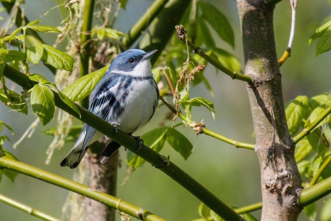 Reforestation in Colombia to help Cerulean Warbler in winter