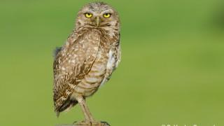 DSC0247-Burrowing-Owl