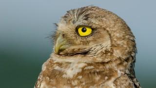 DSC0250-Burrowing-Owl