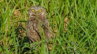 DSC0257-Burrowing-Owl