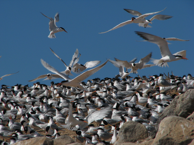 Warming seas, overfishing drive Elegant Terns away from primary nesting site