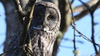 Great Gray Owl in British Columbia by Tony Joyce.