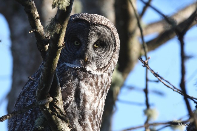 Banding owls in Saskatchewan during the great irruption of 2004-05