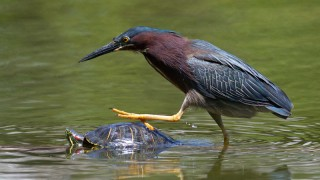 Green Heron ©2015 John Picken