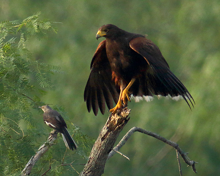 Harris's Hawk and Northern Mockingbird