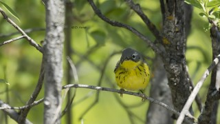 Magnolia-Warbler-2