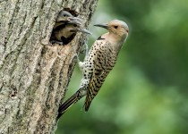 Northern-Flickers
