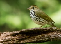 Ovenbird was the most frequently encountered bird in the studied forests. Photo by crayne.