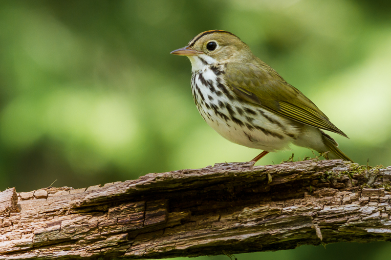 Bird populations steady in western Great Lakes forests