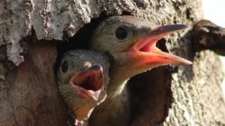 Red-bellied-Woodpecker-660