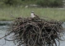 osprey-nest-2-1-of-1