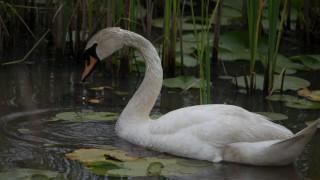 swan-2-1-of-1