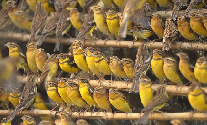 Eurasian songbird's decline mirrors Passenger Pigeon's collapse