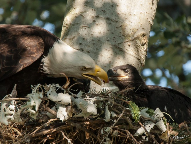 An adult Bald Eagle feeds its chick in 2015. Such a sight was quite rare during the era of widespread DDT use. Photo by Tony Joyce