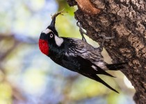 Acorn-Woodpecker-with-Scorpion