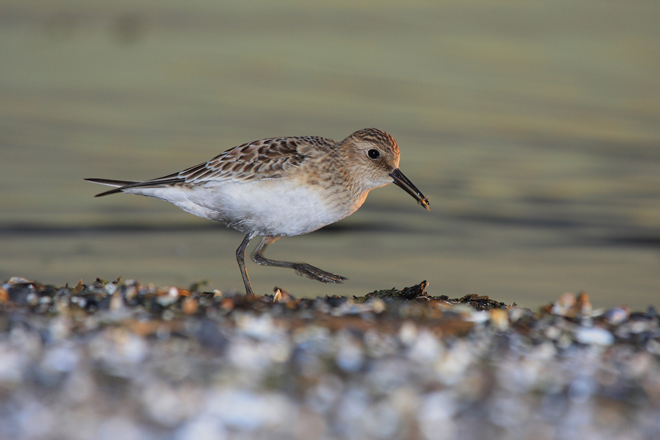 Where and when to look for Baird's Sandpiper