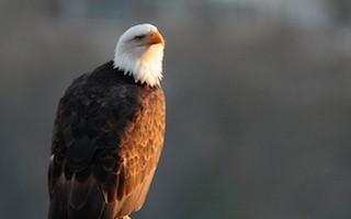 Five majestic views of Bald Eagle