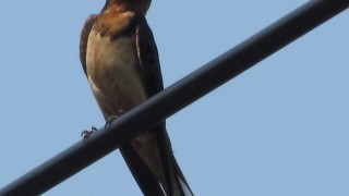 Barn-Swallow-wire