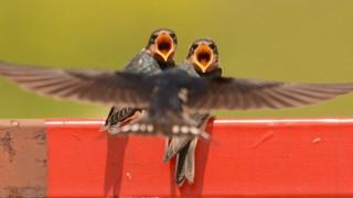 Barn Swallows ©2015 Matt White