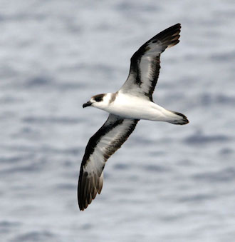 Breeding again after 153 years: Black-capped Petrel returns to Dominica