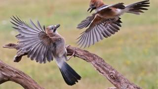 Eurasian Jays ©2015 John King
