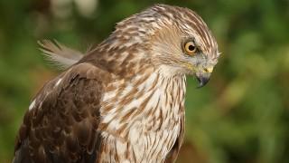 Hawk-Coopers-2015-07-02-031