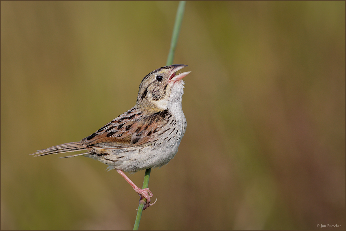 Kenn Kaufman's ode to the Henslow's Sparrow