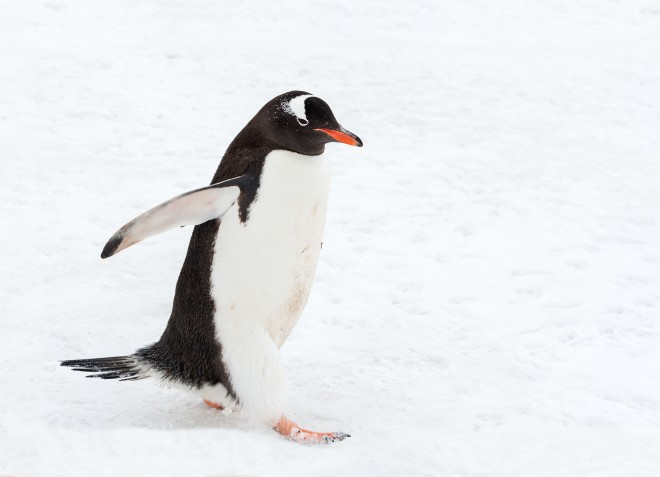 Gentoo Penguin by Christian Sanchez