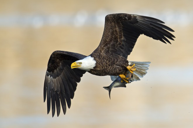 Court invalidates 30-year 'eagle take' rule