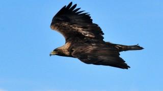 Golden Eagle soaring. Photo by Tom Koerner/U.S. Fish and Wildlife Service