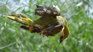A Golden Oriole is caught in a trapper's net on Cyprus. Photo by RSPB