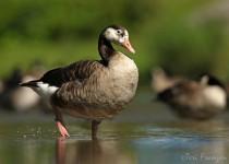 Goose_Hybrid