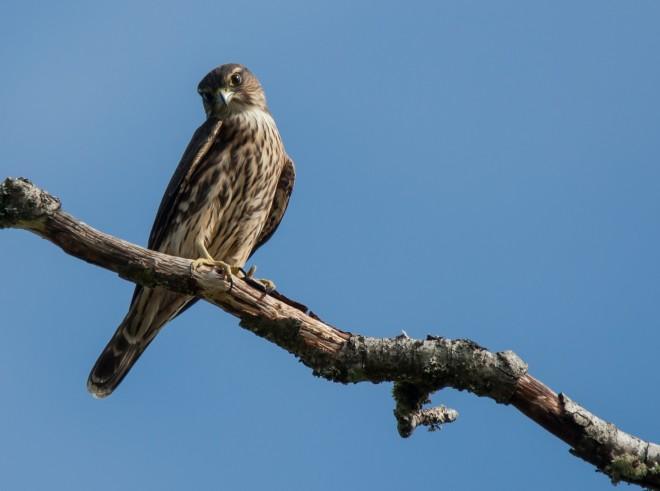 Merlin - BirdWatching