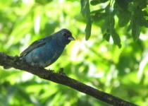 Mr.-Blue-Finch