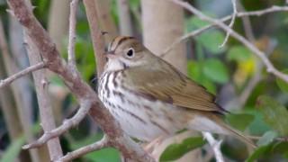 Ovenbird in Big Pine Key, Florida, by marian mcsherry.