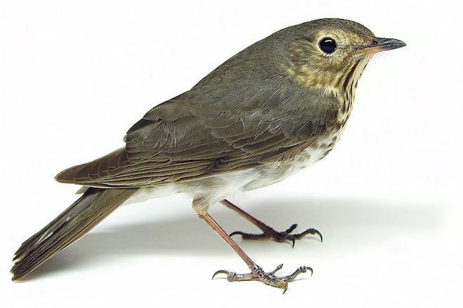 Swainson's Thrushes confound expectations, change altitude while migrating at night