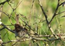 Swamp-Sparrow-@-PH