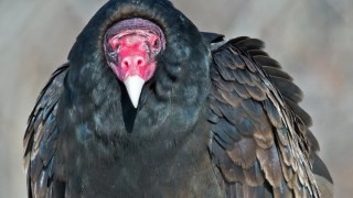 Turkey Vulture at Bombay Hook NWR, Delaware, by Brian Kushner.