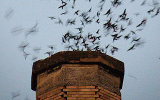 It's time to count Chimney and Vaux's Swifts