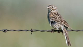 Vesper Sparrow near Alaska Basin Trail in Beaverhead County, Montana, or Fremont County, Idaho, by miam.