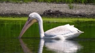 White-Pelican1