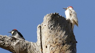 Woodpecker-Acorn-leucistic-2015-08-12-225