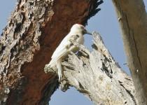 Woodpecker-Acorn-leucistic-2015-08-16-082
