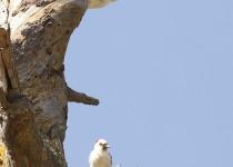 Woodpecker-Acorn-leucistic-2015-08-16-141
