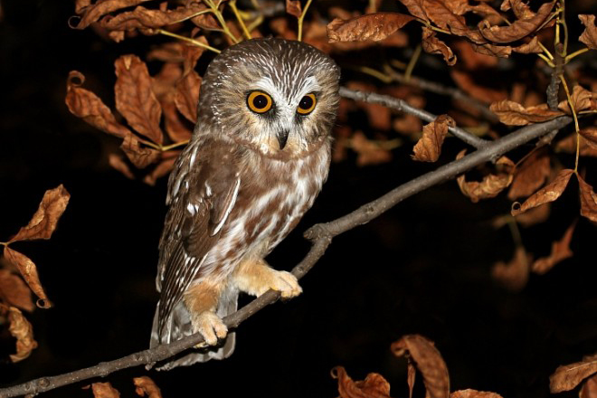 Add Nebraska to the long list of breeding places for saw-whet owls